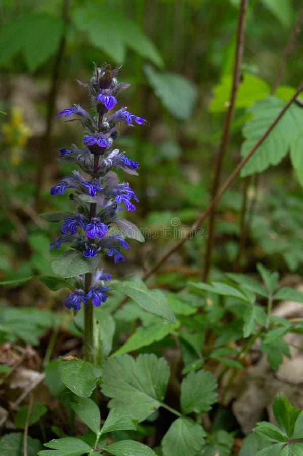 Голубой дикий цветок стекляруса леса стоковое изображение rf