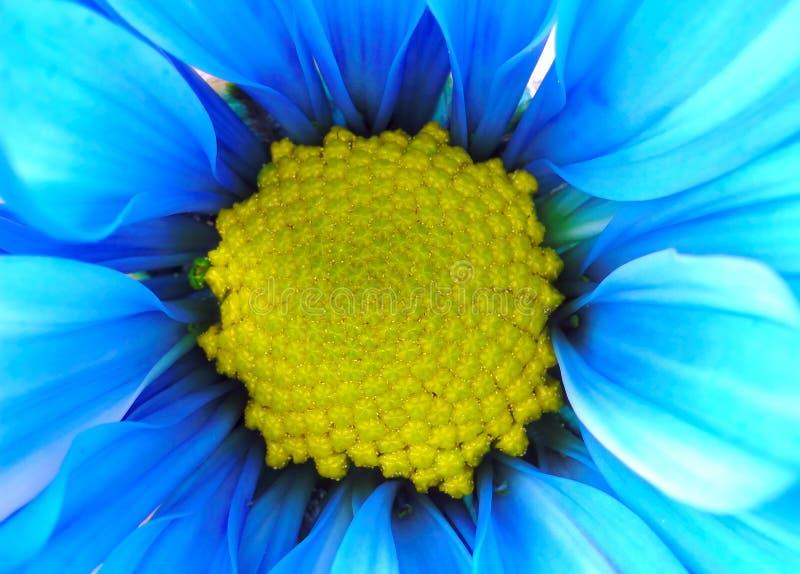 голубой желтый цвет цветка стоковые фотографии rf