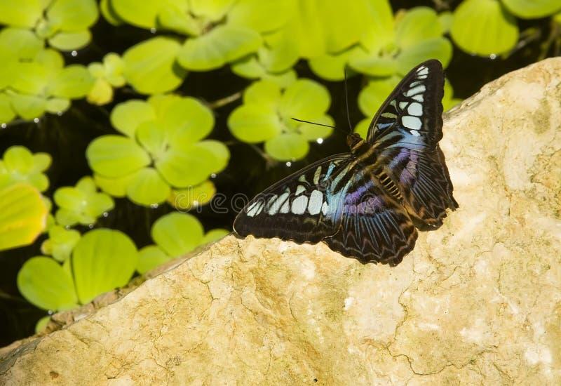 голубой клипер бабочки стоковое фото rf