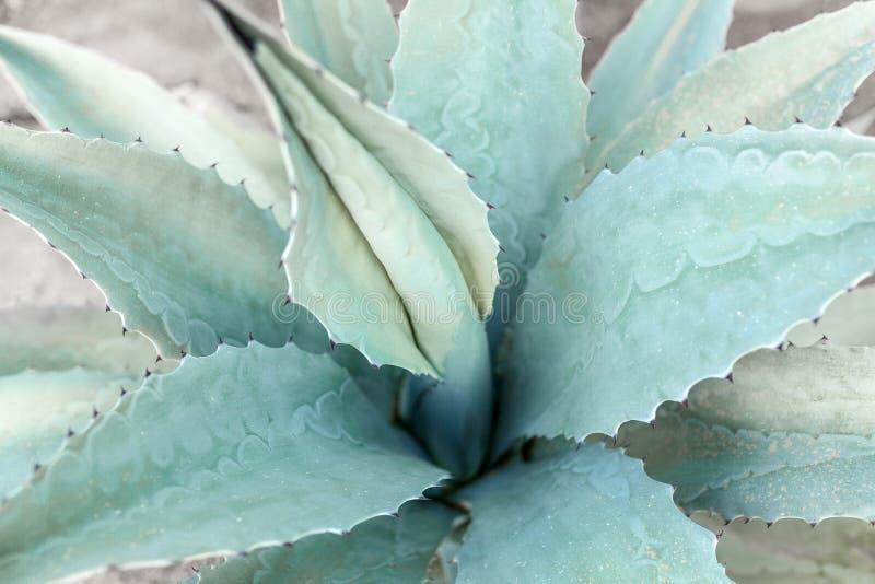 Голубой конец предпосылки кактуса столетника вверх стоковая фотография