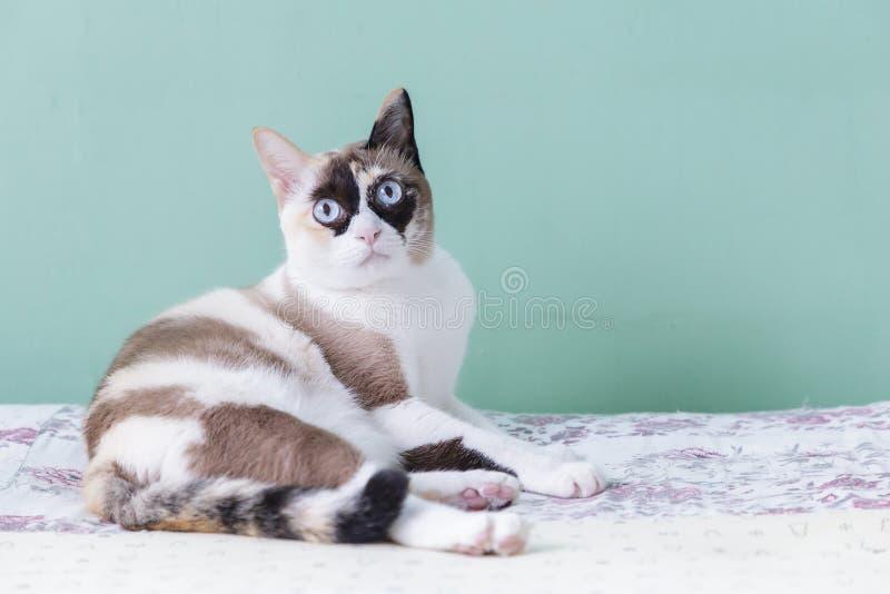 голубой кот eyed Кот лежа на кровати взгляд кота на камере с предпосылкой зеленого цвета Кот тайский стоковые изображения