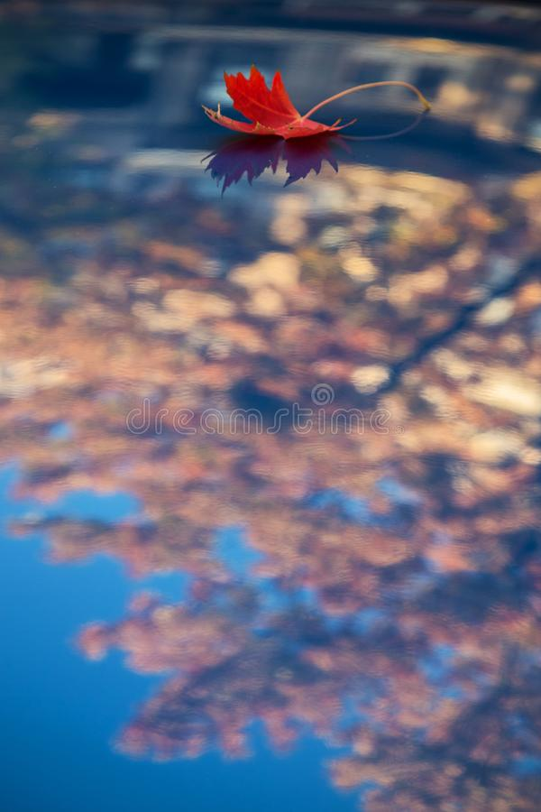 голубой красный цвет клена листьев стоковое фото rf