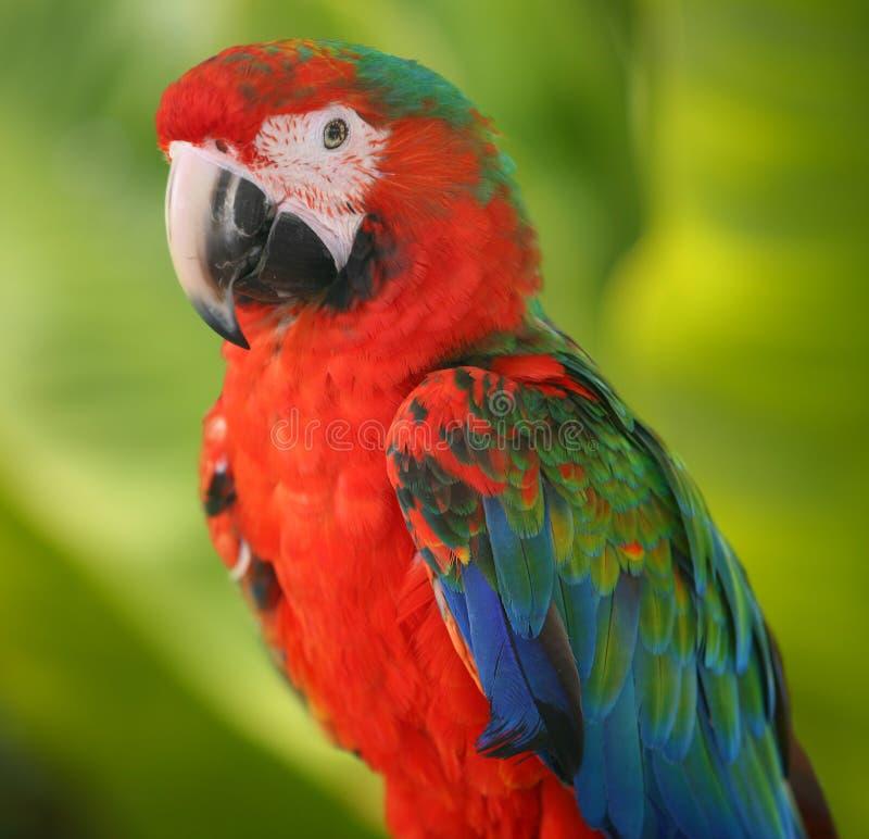 голубой красный цвет попыгая Macaw Стоковая Фотография RF