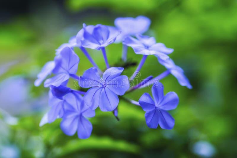 Голубой нежный цветок, закрывает вверх по взгляду стоковое фото