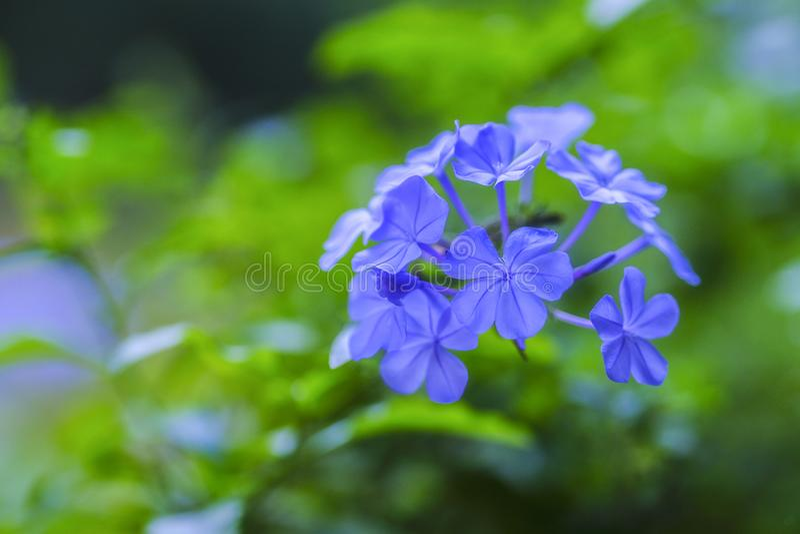 Голубой нежный цветок с небольшими florets стоковые изображения
