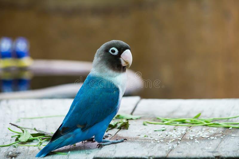 Голубой неразлучник попугая играя на таблице стоковые фотографии rf