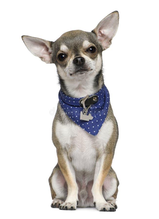 голубой носить носового платка чихуахуа стоковая фотография rf