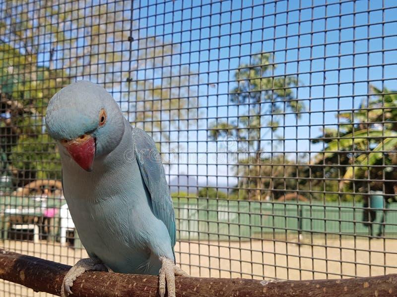 Голубой попугай Ringneck представляя на окуне стоковая фотография