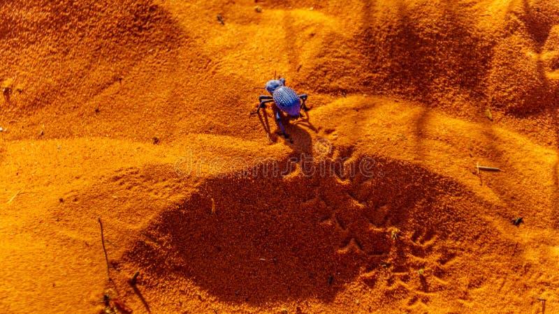Голубой предательский жук в Долине Файрст-Парк в Неваде, США стоковая фотография rf