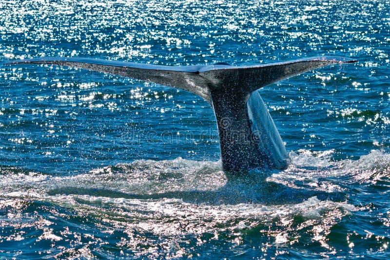 голубой пробивая брешь кит стоковые изображения rf