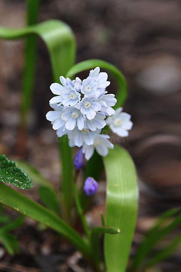 Голубой сибиряк Scilla Раньше цвести угождает человеческому глазу Голубой лес snowdrops весной первая весна цветет стоковое изображение rf