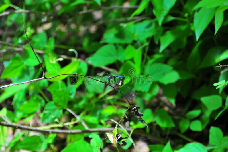 Голубой сопрягать Dragonflies стоковое изображение rf