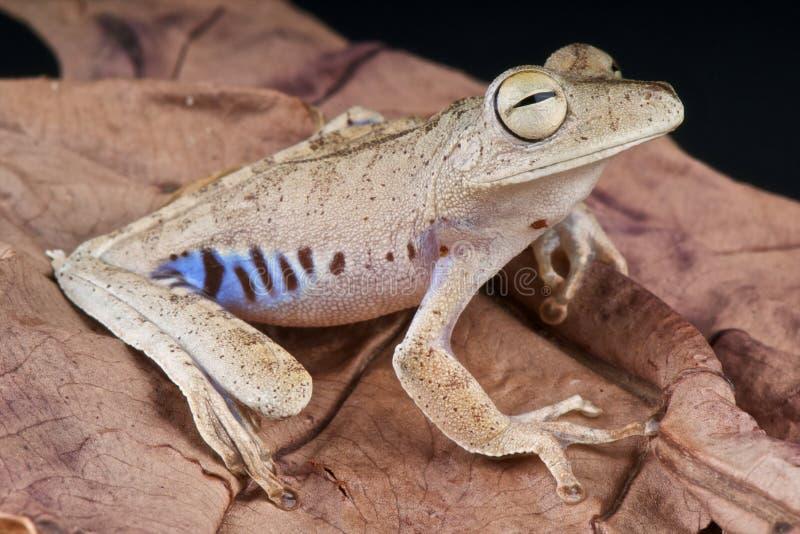 голубой фланкированный вал лягушки стоковое фото