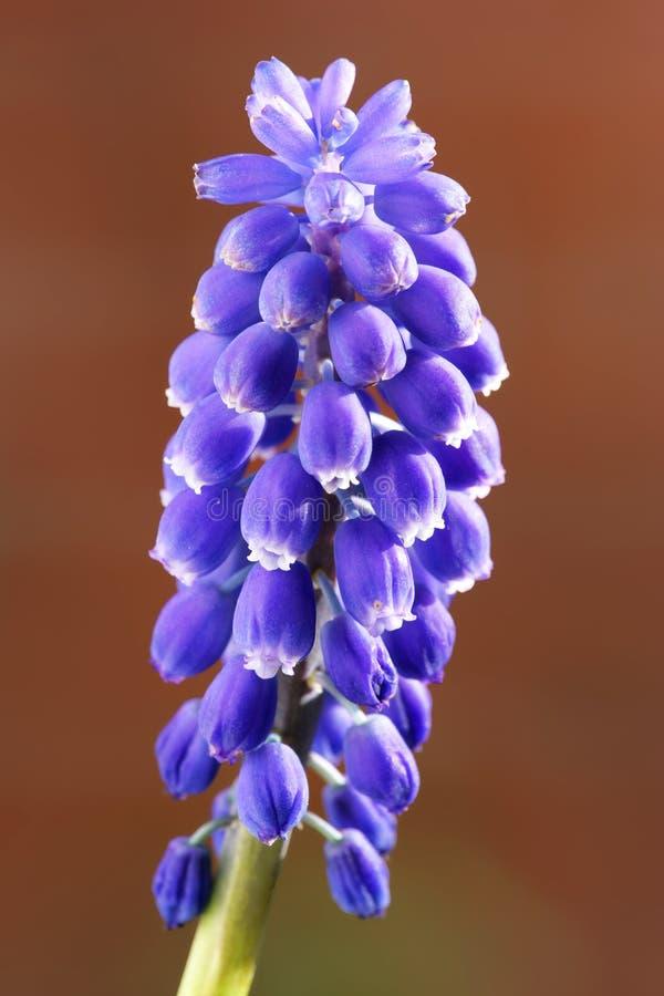 Голубой цветок весны стоковое фото