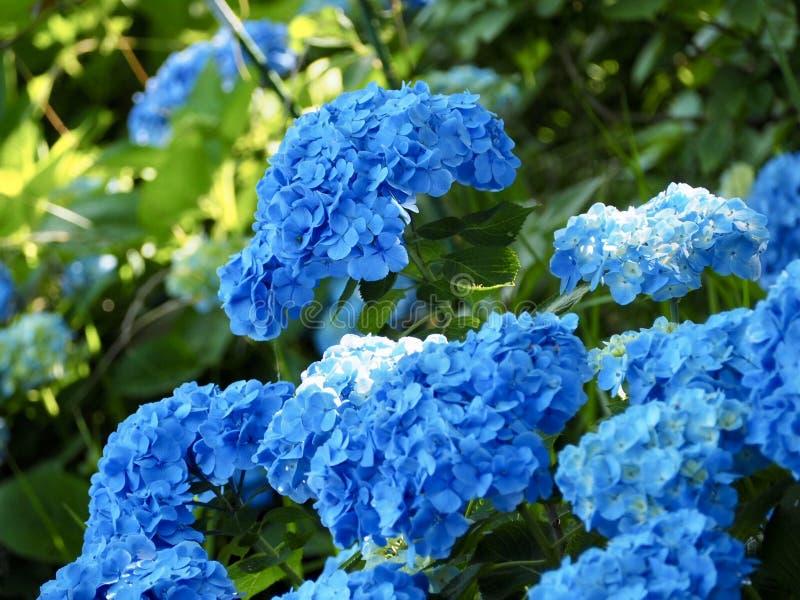 Голубой цветок гортензии в Японии стоковое изображение rf