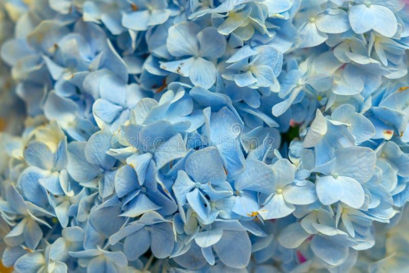голубой цветок гортензии для предпосылки стоковая фотография