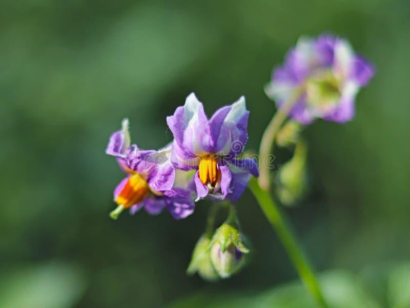 Голубой цветок картошки на зеленом цвете запачкал предпосылку Фото макроса завода и насекомых поля в лучах солнечного света Тепло стоковая фотография