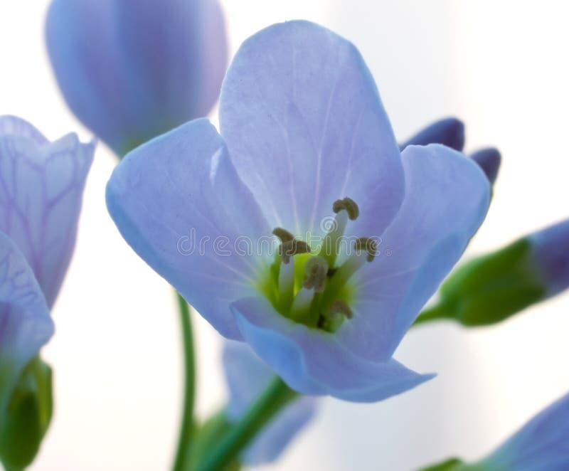 голубой цветок открытый стоковые фото