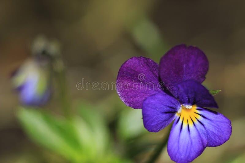 Голубой цветок от сказки стоковая фотография