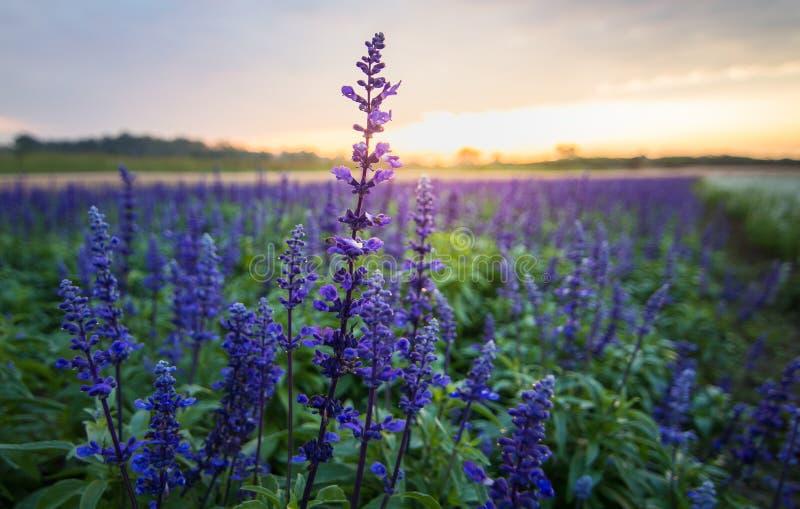 Голубой цветок salvia, стоковые изображения