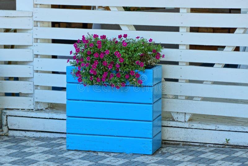 Голубой цветочный горшок деревянной коробки с красными цветками около белой загородки на тротуаре стоковое изображение