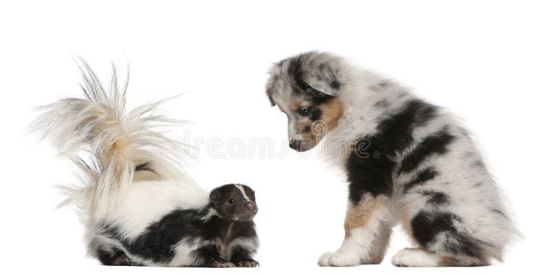 Голубой щенок чабана Merle австралийский, 10 недель старых, смотря s стоковые изображения rf