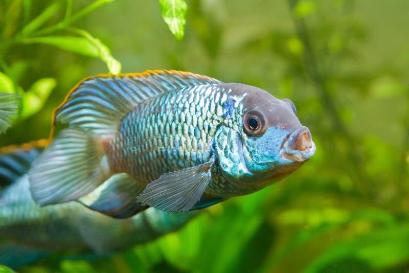 Голубой anomala Nannacara неоновый, доминантный мужской взгляд со стороны cichlid, пресноводная рыба, естественный аквариум, фото стоковое изображение