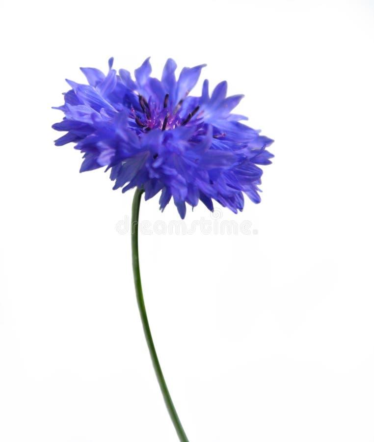 голубой cornflower стоковые фото