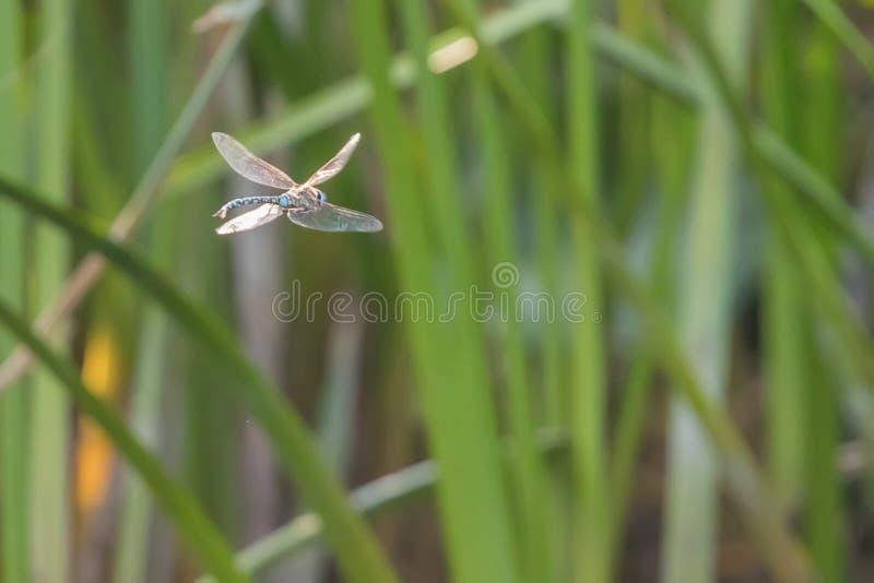 Голубой Dragonfly императора завиша в imperator Anax полета стоковая фотография