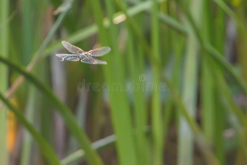 Голубой Dragonfly императора завиша в imperator Anax полета стоковая фотография rf