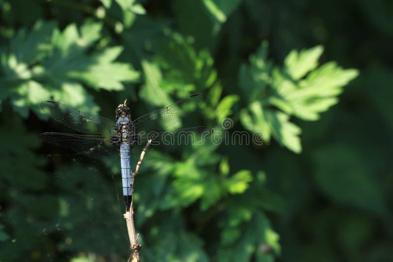 Голубой dragonfly на ветви стоковые изображения rf
