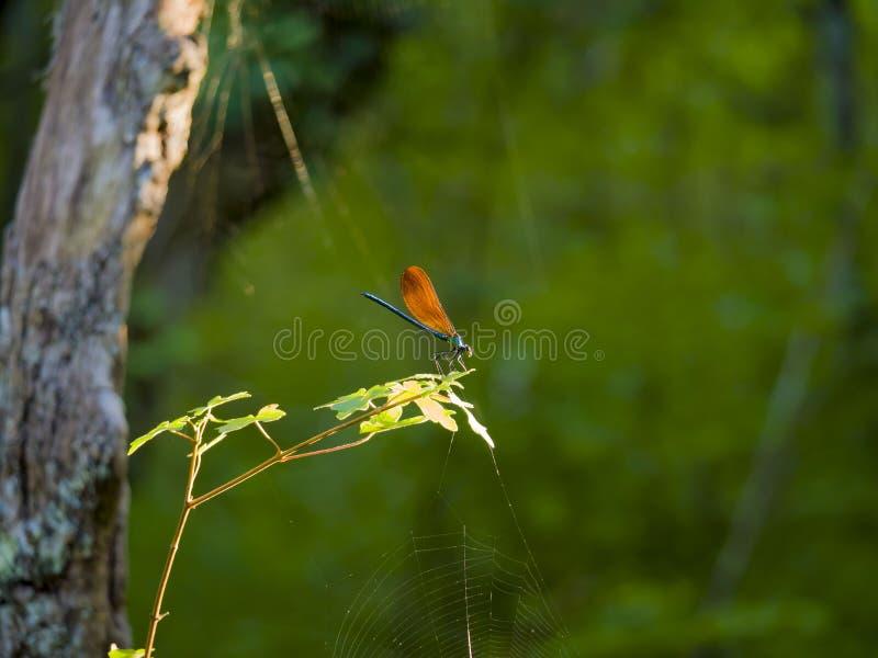 Голубой dragonfly с коричневыми крылами стоковая фотография rf