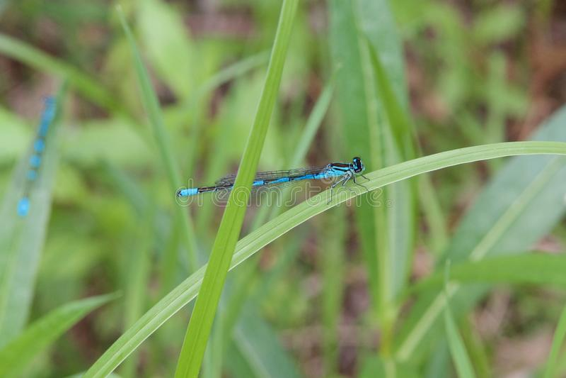 Голубой dragonfly тела на лезвии зеленой травы на запачканной зеленой предпосылке стоковые изображения