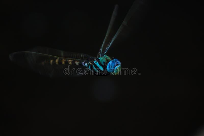 Голубой dragonfly dasher в свете пятна стоковая фотография rf