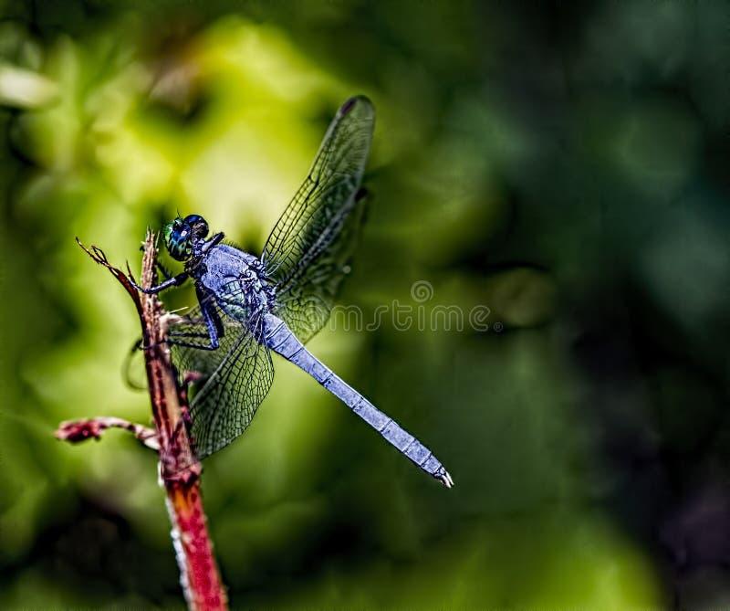 голубой dragonfly dasher Longipennis Pachydiplak стоковые фотографии rf