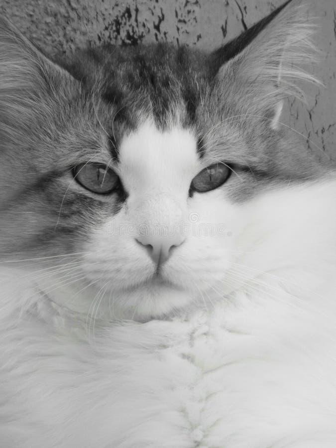 голубой eyed кот стоковые фотографии rf