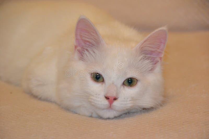 голубой eyed кот стоковое фото