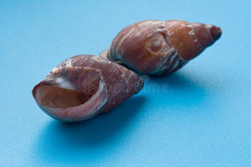 Download голубой seashell макроса стоковое фото. изображение насчитывающей цветасто - 18379316