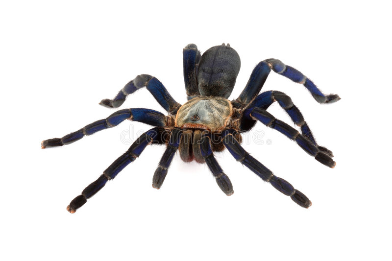 голубой tarantula кобальта стоковые фотографии rf