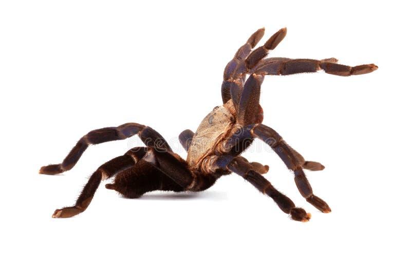 голубой tarantula lividum haplopelma кобальта стоковая фотография