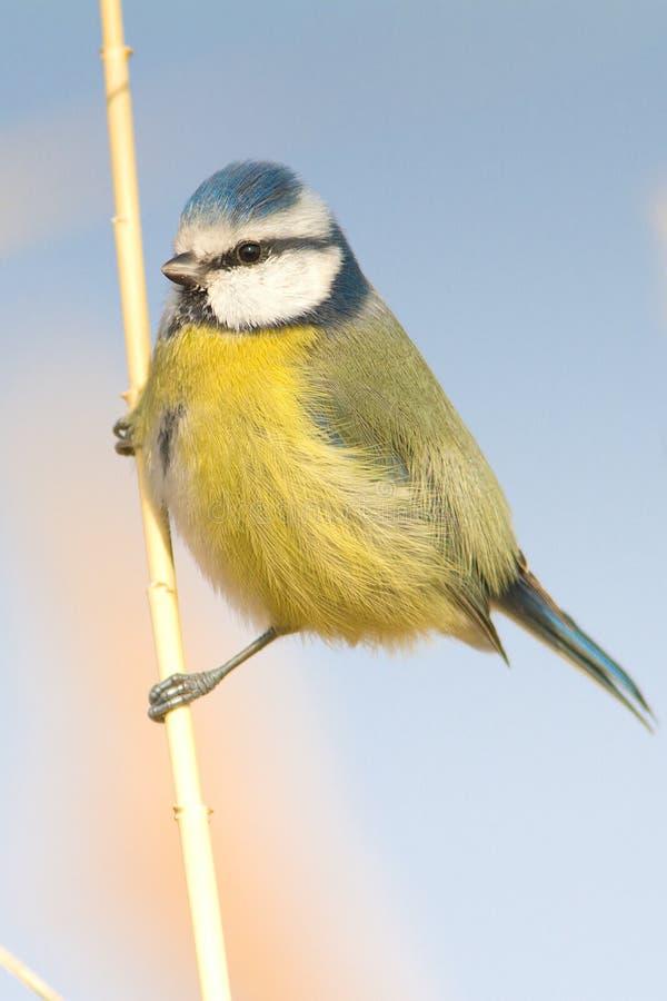 голубой tit тростника parus caeruleus стоковая фотография