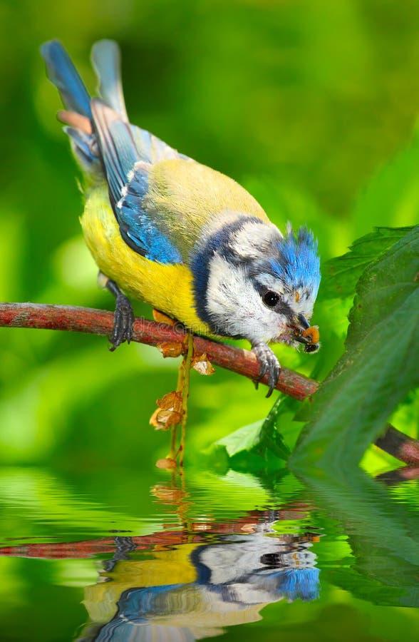 голубой tit cyanistes caeruleus стоковая фотография rf