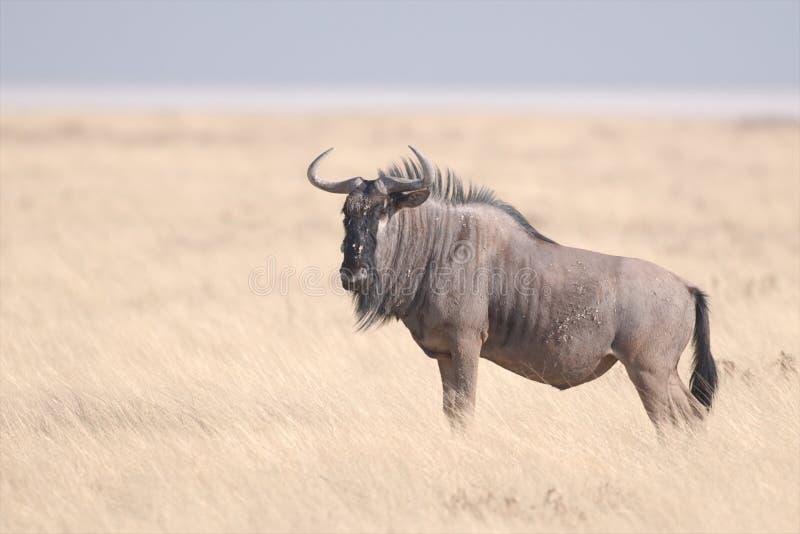 голубой wildebeest стоковая фотография