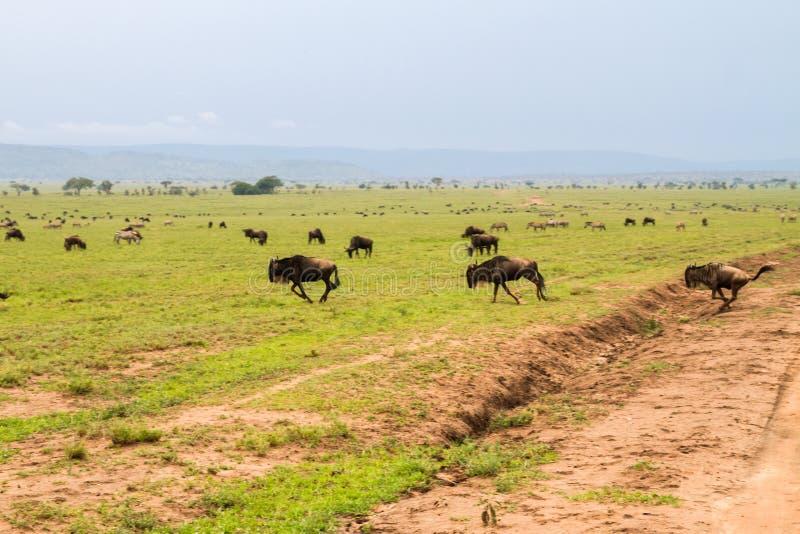 Голубые антилопы гну бежать в парке Serengeti стоковые фотографии rf