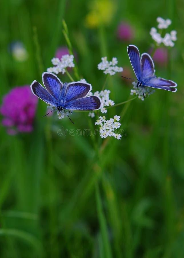 голубые бабочки стоковое фото