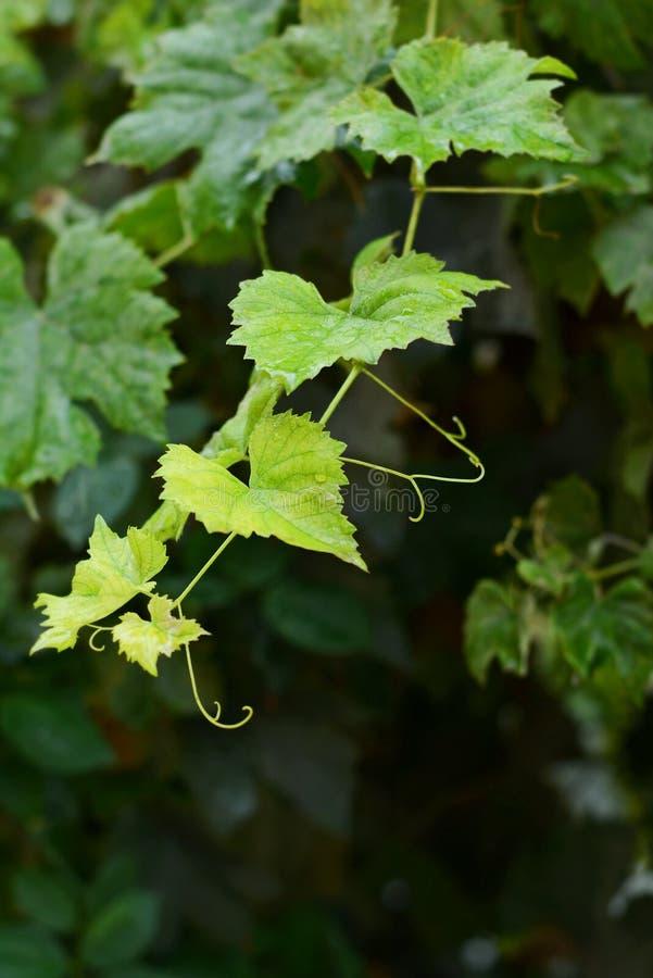 голубые виноградины пука Плодоовощи лета сбора свежие помадка плодоовощ десерта Виноградная лоза на темной предпосылке после дожд стоковые изображения