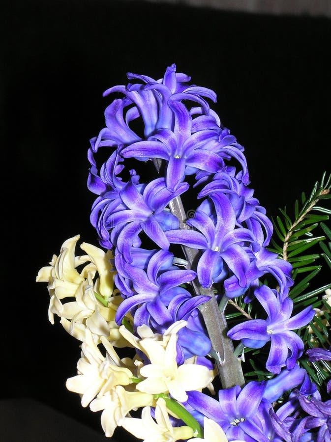 голубые гиацинты белые стоковая фотография