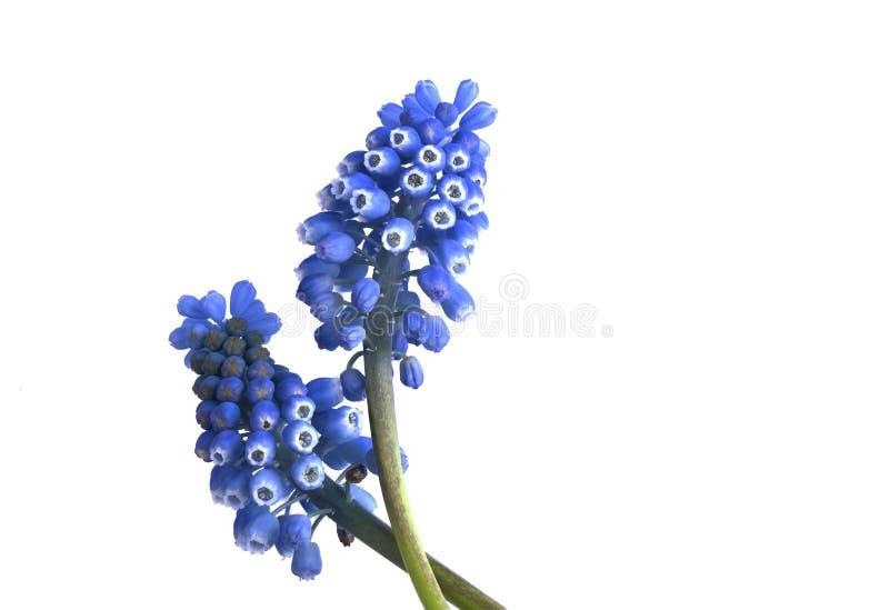 Голубые гиацинты на белой предпосылке стоковые изображения rf