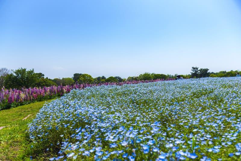 Голубые глазы nemophila или младенца цветеня цветут поле ковра на парке взморья Uminonakamichi, Фукуоке, Кюсю, Японии стоковая фотография rf