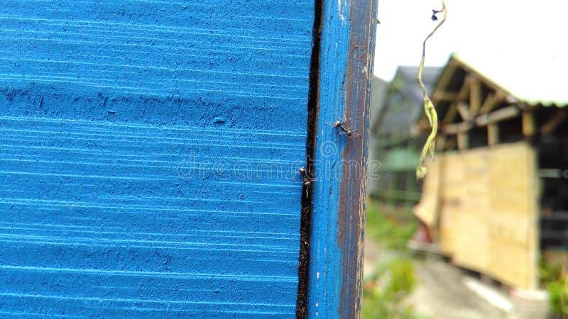 Голубые деревянные предпосылка и муравьи текстуры стоковое изображение rf